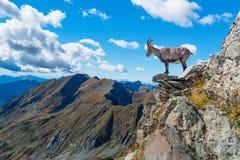 Stenbocken vaggar på i berg Fotografering för Bildbyråer