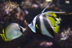 Stendardo Coralfish o heniochus acuminatus di Longfin Bannerfish Immagine Stock Libera da Diritti