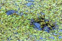 Stående av alligatorn som svävar i ett träsk Royaltyfri Foto