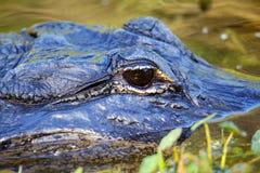 Stående av alligatorn som svävar i vatten Arkivfoto