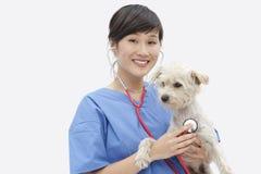 Stående av den asiatiska kvinnliga veterinär- undersökande hunden över grå bakgrund Arkivbild