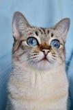 Stående av den blåögda vita katten Arkivbild