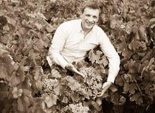 Stående av den glade bonden nära druvor i vingård Royaltyfria Bilder