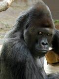 Stående av den manliga gorillan Fotografering för Bildbyråer