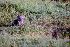 Stående av den prickiga hyenaen Arkivbilder
