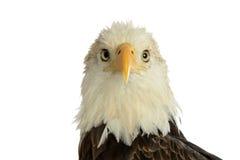 Stående av den skalliga örnen Fotografering för Bildbyråer