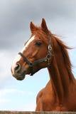 Stående av den trevliga bruna hästen Fotografering för Bildbyråer