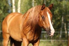Stående av den ursnygga arabiska hästen Fotografering för Bildbyråer