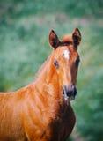 Stående av det gulliga kastanjebruna fölet Fotografering för Bildbyråer