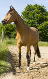 Stående av en Berberhäst. Arkivfoto