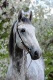 Stående av en häst för avel för grå färgorlov travare Royaltyfri Foto
