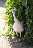 Stående av en vit påfågel Fotografering för Bildbyråer