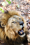 Stående av lejonet med den öppna munnen som knuffar stora tänder Arkivbilder