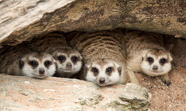Stående av meerkat Royaltyfri Fotografi