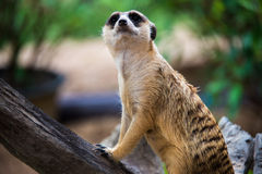 Stående av meerkat Fotografering för Bildbyråer