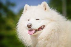 Stående av Samoyedcloseupen Slädehundkapplöpning Arkivfoto