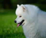 Stående av samoyedhunden Royaltyfri Fotografi