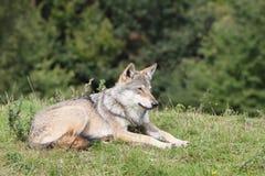 stående av wolfen Arkivfoton