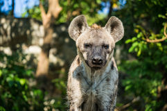 Stående för främre sida av hyenan Arkivfoto