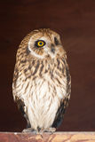 stående för owl för asiocloseupflammeus Arkivbild