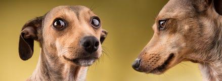 Stående för två rolig hundkapplöpning Arkivbilder