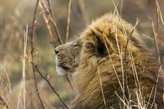 Ståenden av ett stort manligt lejon, profilen, Kruger parkerar, Sydafrika Arkivfoto
