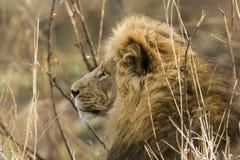 Ståenden av ett stort manligt lejon, profilen, Kruger parkerar, Sydafrika Royaltyfri Bild