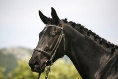 Ståenden för sidosikten av en härlig svart färgade hästen Arkivfoto