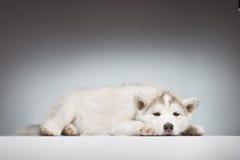 Stenditura annoiata del cucciolo del husky Fotografia Stock