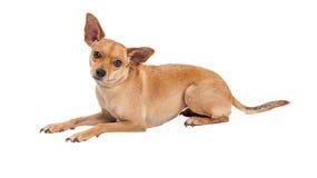 Stenditura attenta del cane della razza della miscela della chihuahua Fotografie Stock Libere da Diritti