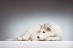 Stenditura calma del cucciolo del husky Fotografia Stock Libera da Diritti