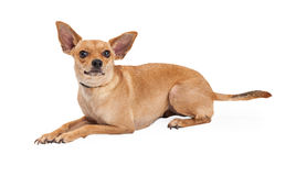 Stenditura curiosa del cane della razza della miscela della chihuahua Fotografia Stock