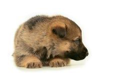 Stenditura del cucciolo dei cani pastore fotografia stock libera da diritti