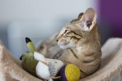 Stenditura del gattino orientale con i giocattoli Fotografia Stock Libera da Diritti