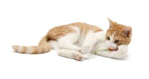 Stenditura del gatto Fotografia Stock