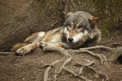 Stenditura del lupo Immagine Stock Libera da Diritti