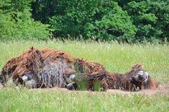 Stenditura dell'asino di Poitou Fotografia Stock