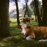 Stenditura della mucca Immagini Stock