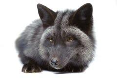 Stenditura della volpe d'argento Immagini Stock Libere da Diritti