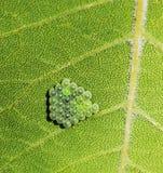 Stenditura delle uova dell'insetto Fotografia Stock Libera da Diritti