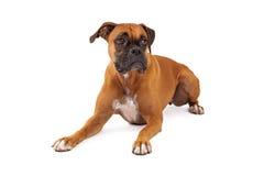 Stenditura di sguardo triste del cane del pugile Immagini Stock Libere da Diritti