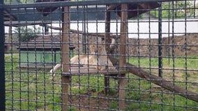 Stenditura femminile del leone immagine stock libera da diritti