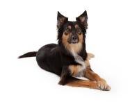 Stenditura mista attenta del cane della razza Fotografie Stock