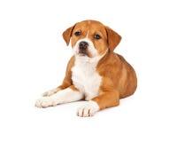 Stenditura mista sveglia del cucciolo della razza Fotografia Stock