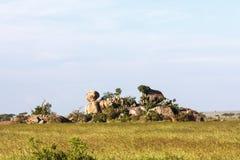 Stenen en rotsen op eindeloze vlakte van Serengeti Tanzania, Afrika Royalty-vrije Stock Foto's
