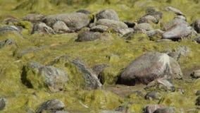 Stenen in het eendekroos stock videobeelden
