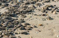 Stenen met eikeleendenmosselen worden behandeld van het sluiten dat Stock Afbeelding