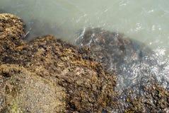 Stenen met zeewier op de overzeese kust worden behandeld die Stock Foto's