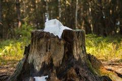 Stenen saltar för djur Salt förlade i en gammal stubbe arkivbilder