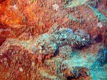 Stenen-vissen in een hinderlaag Stock Foto's